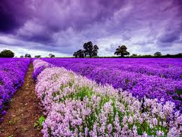 The Lavender Fields of Provence: why I never met Jeanne Calment.