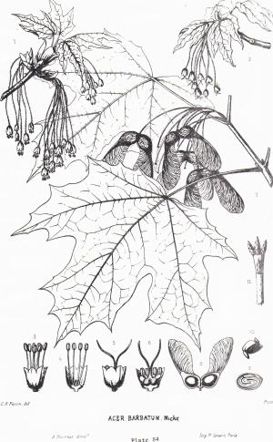 An illustration of the sugar maple. With more information here: https://forestry.about.com/library/silvics/blsilasaccharum.htm