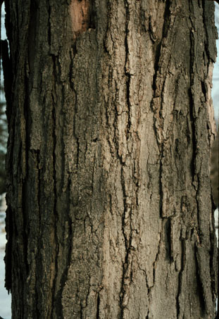 Sugar maple bark. More information available here: https://www.forestryimages.org/browse/detail.cfm?imgnum=5461499 ; and here: https://www.tapmytrees.com/sugarmaple.html