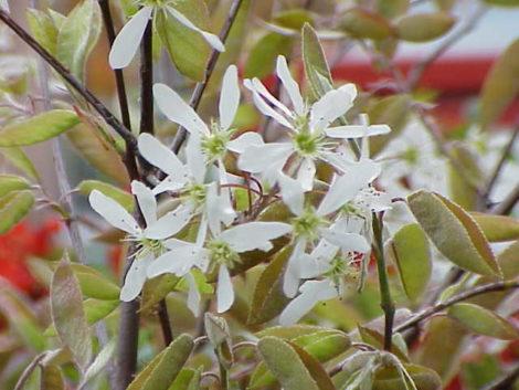 Shadblow blossoms.