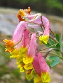Pale Corydalis blossoms.