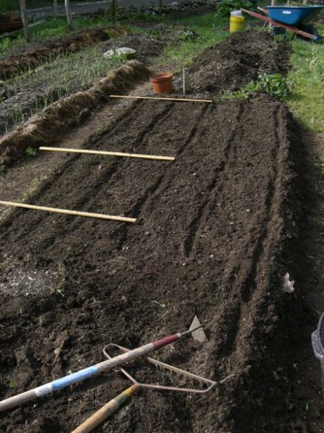 Raised bed furrowed and ready for planting.