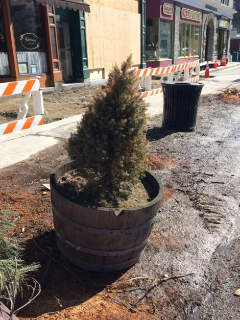 Last tree standing along Great Barrington's Main Street. Photo: Heather Bellow