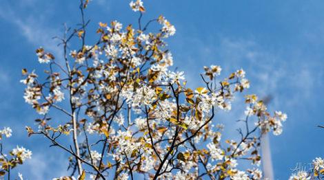 Shadblow in full bloom.