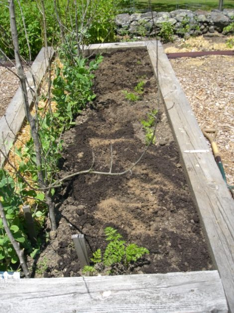 Framed raised bed with pea plants trellised on saplings with their branches on. Straw mulch on left. Bed preparation in progress on right: compost and  mixed mineral and organic matter soil conditioner ready to be dug in. Photo by Judy Isacoff