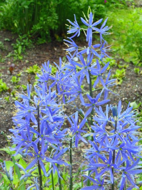 Camassia sp., Leichlinii or quamash, common names camas and Indian hyacinth, is native to western North America, It is a spring flowering bulb in the Berkshires. Showy 3' tall flower spikes attract hummingbirds. Edible bulbs reported to have saved the Lewis and Clark expedition from starvation. Photo by Judy Isacoff