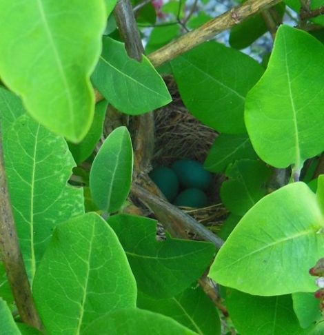 Three robin's eggs in the nest within the honeysuckle vine. Photo by Judy Isacoff, June 20, 2015