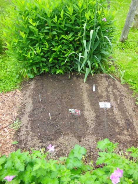 Early lettuce and arugula was harvested from this bed, now a nursery of crops to be planted when other beds are prepared. Notice the fanciful seed packet holders marking cabbage and Watermelon Radish (which will remain in this bed).  Photo: Judy Isacoff, July 3, 2015