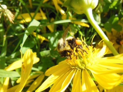 Feeding bee with orange pollen on pollen basket part of its leg.  August 23, 2015. Photo by Mackenzie Waggaman