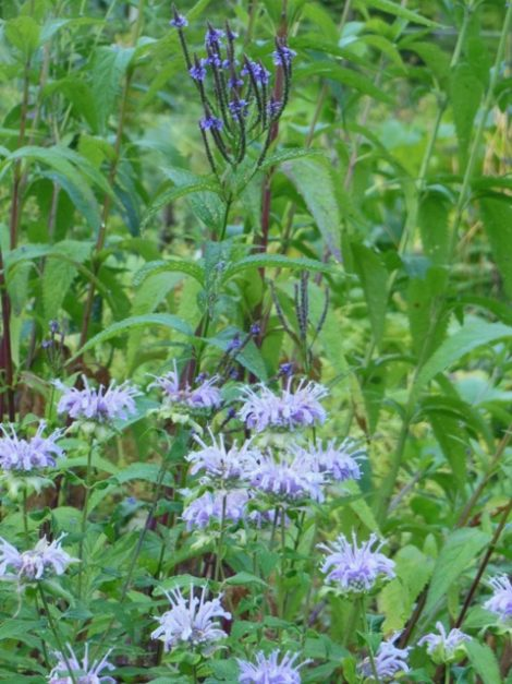 Native lavender bergamot (Monarda fistulosa) blooms after red Oswego tea (Monarda didyma.) Vervain in background. August 29, 2015. Photo by Judy Isacoff