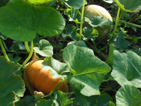 Cinderella pumpkin, Rouge Vif D'Etampes, a superb squash that will ripen to vermillion. Unripe naked-seeded pumpkin, for pepitas, in background. August 29, 2015.
