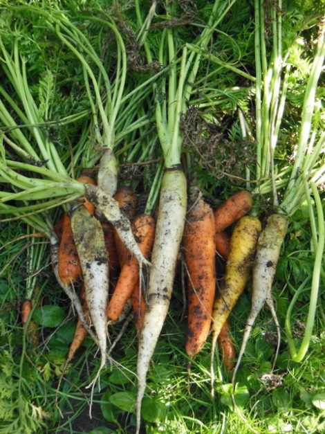 Rainbow carrots, several feasted on by voles, snatched from the rodents' mouths. August 30, 2015. Photograph by Judy Isacoff