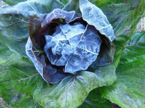 Radicchio lettuce Sunday morning, October 11, 2015, the first frost on Mt. Washington, Mass. Photo: Judy Isacoff