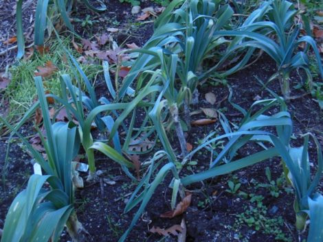 Leeks that have withstood 20 degree nights. Recommend digging before the ground freezes. Photo by Judy Isacoff