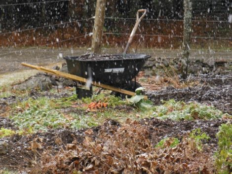 First snow squall December 3. The earth had thawed making easy pulling of carrots and good time to dig leeks and parsnips. Those left in the ground will be covered with leaves or hay. Vigilance will be required to prevent vole damage. Photograph by Judy Isacoff