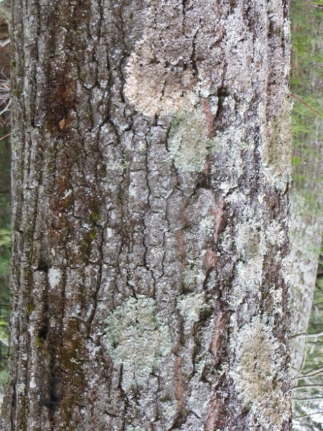 Red oak tree (Quercus borealis) adorned with Common Greenshield Lichen (Flavoparmelia caperata.) The pink circle, above, is dying and the stripe of moss is unidentified. Photo: Judy Isacoff