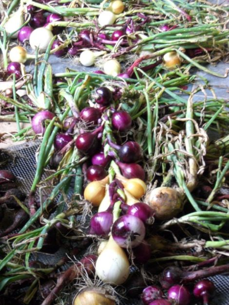 For long-term storage, redwing, a slightly pungent red onion, and copra, a yellow onion, keep for about nine months in a cold, dark location. Photo by Judy Isacoff