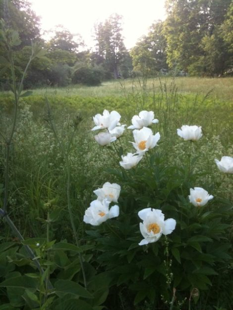 These peonies were growing in the meadow and lawn surrounding my Connecticut house when I moved in, and although not native, have a place in the garden, as they are great performers and noninvasive. They were planted by the family that owned the house since it was built and are as much a part of the landscape as the native ferns along the stream. Photo: Lee Buttala