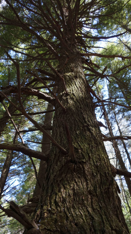 Three hundred-year-old Hemlocks such as this in the old-growth forest were to be protected forever, according to the state Constitution.