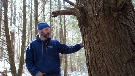 Arborist Tom Ingersoll inspects what he estimates to be a 300- to 350-year-old hemlock. Photo: Ben Hillman