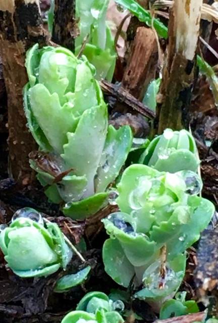 Working in the garden early in the season unearth all sorts of beautiful sights, such as these emerging buds of Sedum 'Autumn Joy.'