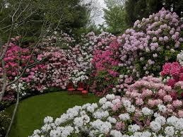 A clipped hedge of azaleas takes on color in early June and is transformed into a wall of flowers.