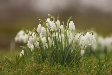 Snowdrops often find a place in the garden or lawn where they will prosper and multiply. They can be moved while in the green to new areas of the garden and look great sited near a stone or backdrop that sets off their white and green flowers.