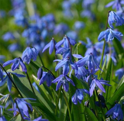 Over the years, Scilla sibirica, commonly known as squill, can self-sow to create sheets of blue flowers in a lawn or low-lying area in the garden that almost give the illusion of sitting water.
