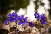 Hepatica nobilis blooms early in the season at Bartholomew's Cobble and has a musical quality as its flowers dance in the wind.