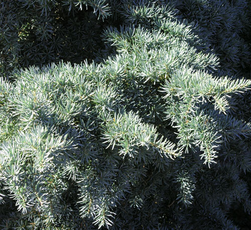 : I could not resist the blue foliage of this mountain hemlock, native to the Pacific Northwest. My garden had no problem resisting and rejecting it, but it was a glorious run while it lasted. Photo: Lee Buttala