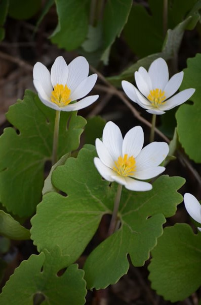 The flowers of bloodroot, Sanguinaria canadensis, emerge early in the season and are followed shortly by the emergence of fanlike leaves. Both will be dormant by summer after the woodland canopy has fully emerged.