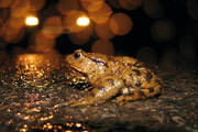 Spring peepers come out at night at the Cobble and the Trustees have planned an event to celebrate their song, which is sung in unison with the spring flower display.