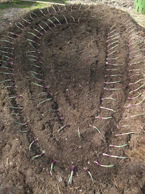 "Redwing onion plantlets laid in furrows ready to be stood up, their root end buried in 1"" of earth. Photo: Judy Isacoff"