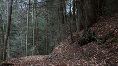 Old-growth trees in Otis State Forest were in the path of the proposed pipeline expansion. Photo: Ben Hillman