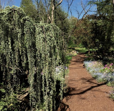 A blue atlas cedar sits like a piece of sculpture along a path to the garden and goes unobserved by my dog Fred on his garden tour. Photo: Lee Buttala