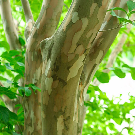 The peeling bark of Japanese stewartia appears camouflaged and is a welcome sight all year long. Siting this medium sized tree where it can be seen in winter is a good idea.