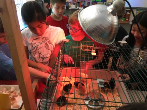 Students gather around the cage to watch the chicks.