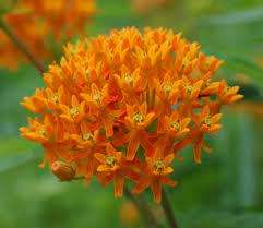 Butterfly weed is a great perennial for self-sowing. Its flowers set and drop seeds, and plants are more successfully grown from seed in situ then they are from being transplanted.