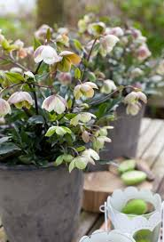 """When I asked Jude Tyler what people might learn from the field piece we were shooting, she simply stated, 'Some of them might just learn that hellebores are great plants for their shade garden.' 'What else does one need to know?"""" she continued, as she shared her knowledge of genetics, breeding, and seed starting."""