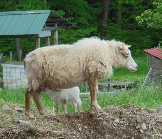 ewe suckling