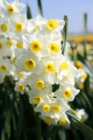 The fragrant flowers of Narcissus 'Avalance' would be enough reason to order this bulb for fall planting. The butter yellow cups are just icing on the cake.