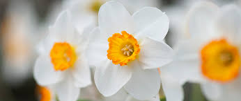 'Barrett Browning' daffodils welcome spring and are an irresistible classic form that can be planted in large drifts for cutting.