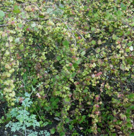 Gooseberry shrub with almost ripe berries, July 14, 2016. Photo: Judy Isacoff