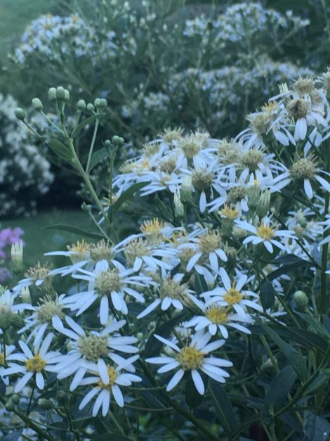 The cheery white composite flowers of Aster umbellatus add a sense of coolness to the summer garden at Hollister House.