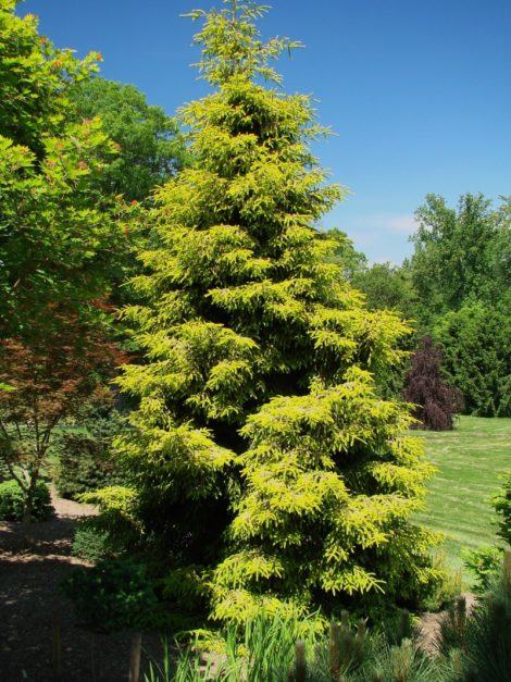 This spruce cultivar was selected to add its golden tones to the garden. While this plant can be well-used in a stylized border that is filled with a range of winter tones, in the wrong setting the color of 'Skylands' spruce may seem sickly or chloritic in a snowy landscape.