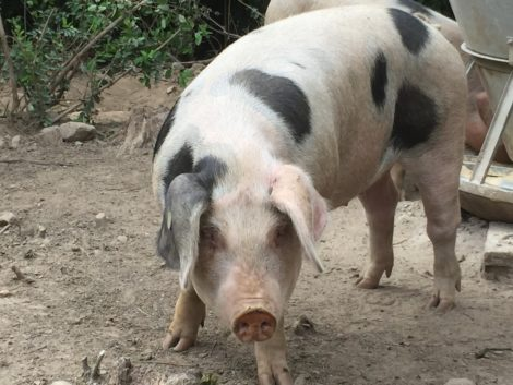 One of East Mountain Farm's Berkshire pigs.