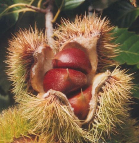 The chestnut is encased in a prickly involucre that has a beauty of its own. The involucre splits when the seed has matured, and the nut typically falls to the ground. A seedling has come on in my garden that was probably stored underground and forgotten by a squirrel. We will cherish his mistake in the years to come, as we share the bounty.