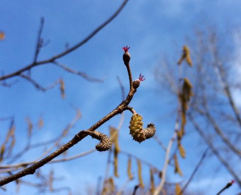 The male catkins of a hazel arrive in early spring to pollinate the female flowers of the plants. Humans and wildlife alike can enjoy the resulting nut crop.