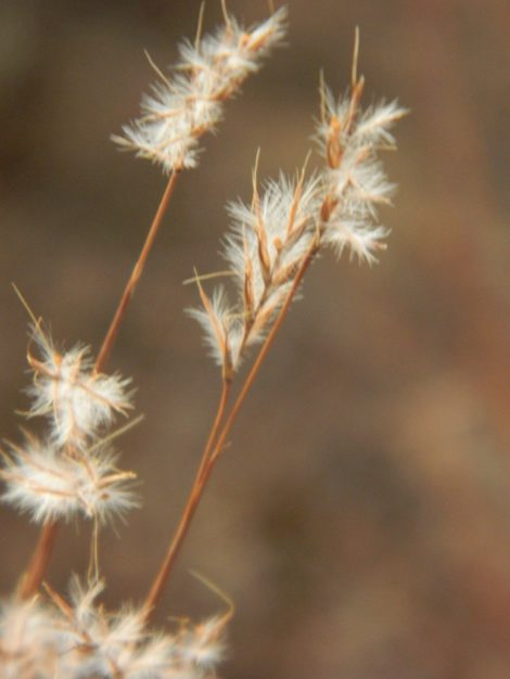 The flowers of the grass commonly known as little bluestem capture the light of the season and cause us to look closer at the world around us. Photo: Lee Buttala