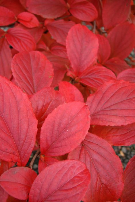 The reds of a Japanese stewartia's fall foliage are the result of the production of anthrocyanin in the bright light of the fall. This chemical is not produced until late in the season and is responsible for these crimson tones which glow when backlit by the low-lying sun of autumn.